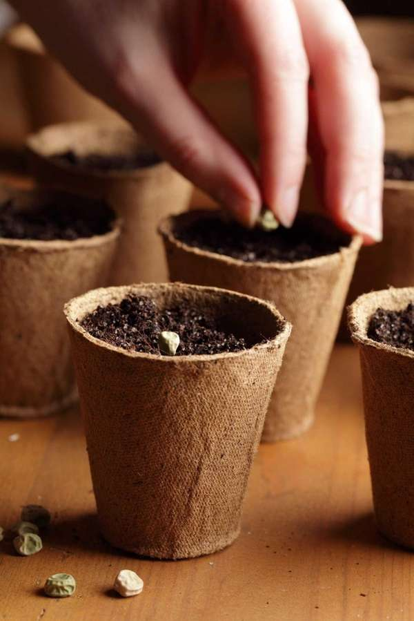 Planting seeds in small pots.