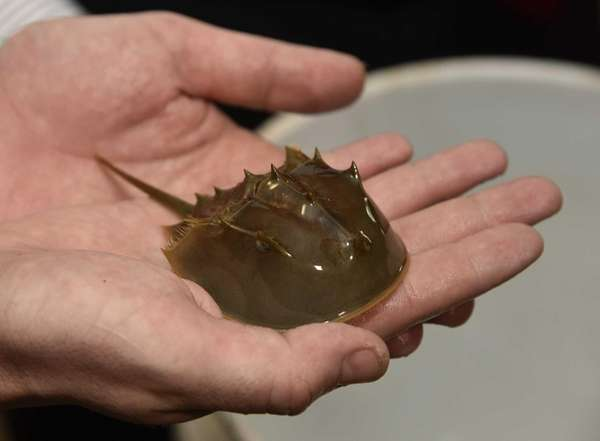 A baby horseshoe crab is held out of