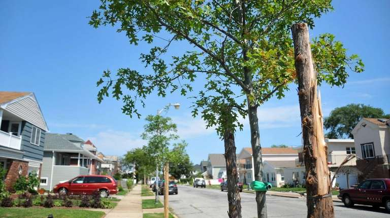 Newly planted trees on East Chester Street in