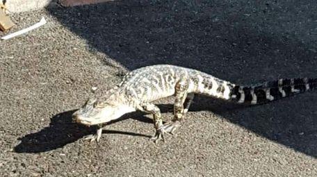 An alligator crosses Ninth Avenue in Manhattan's Inwood