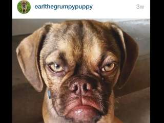 Grumpy puppy Earl is a 5-month-old puggle from