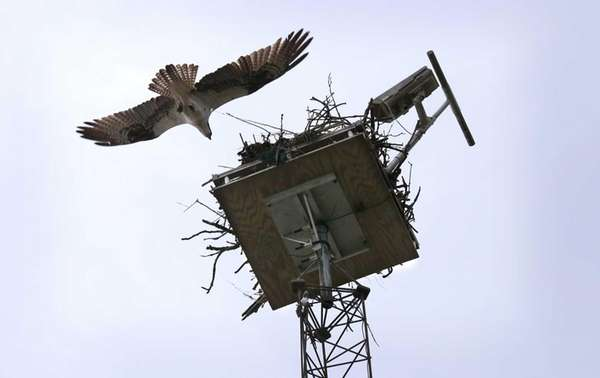 An adult osprey returns to its nest at