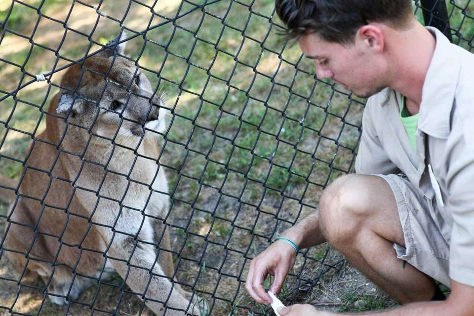 The farm's cougar, Hudson, came to Manorville after