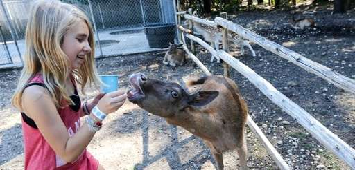 Jade Lichtenstein, 11, from Brooklyn, feeds the Fallow