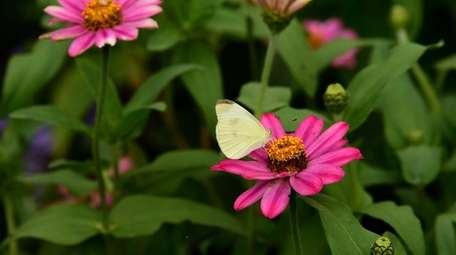 A cabbage white butterfly lands on a zinnia