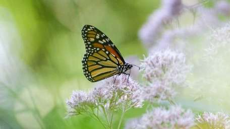 A monarch butterfly feeds on milkweed in the