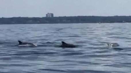 An estimated 30 bottlenose dolphins were seen on