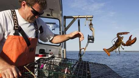 A fisherman in Maine returns an undersized lobster