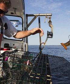A fisherman in Maine returns an undersized lobster
