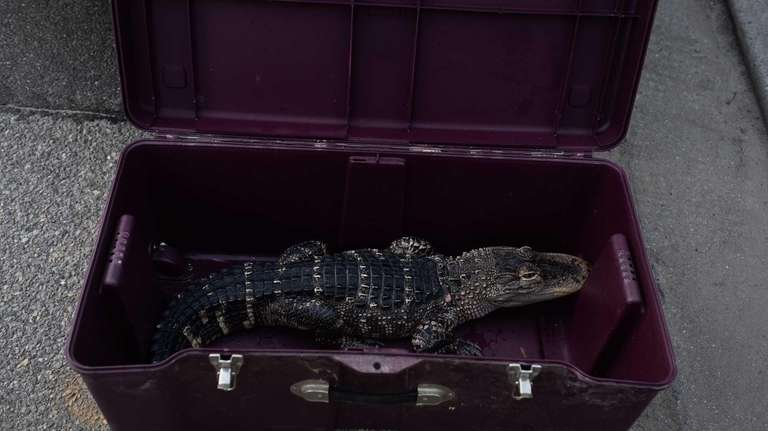 An American alligator was found in the home