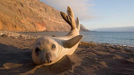 A Northern elephant seal (Mirounga angustirostris) pup stretches