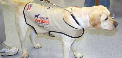A service dog with America's VetDogs Association appears