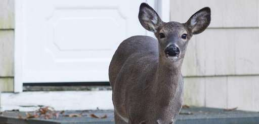 White-tailed deer intrude on the property of homes