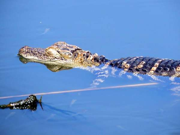 An alligator swims in a lake at Flushing