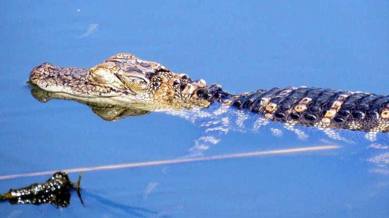 An alligator swims in a lake at Flushing