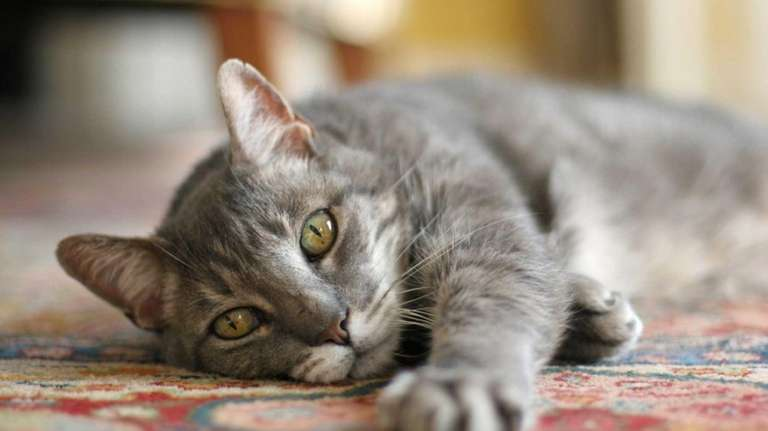Animal right advocates say cat declawing is painful