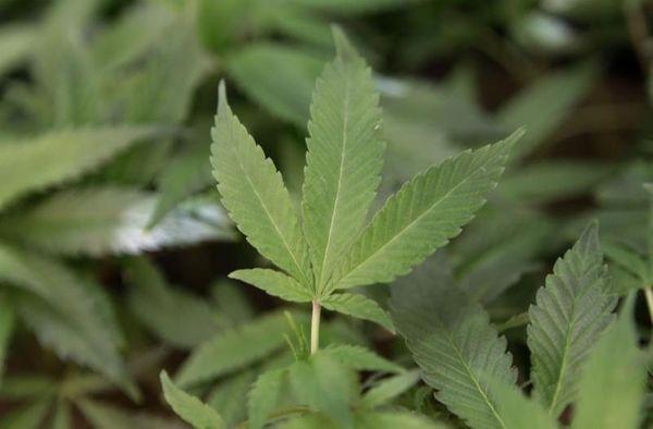 These are medical marijuana clone plants on Feb.