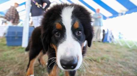 Abel, a 4-month-old Bernese Mountain Dog owned by
