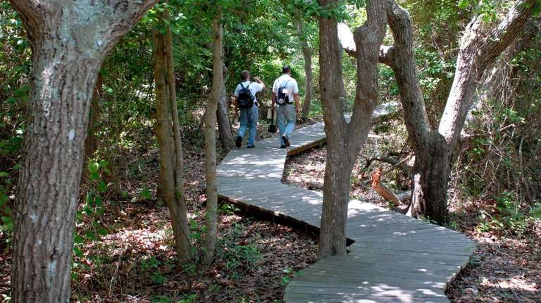 Hikers walk through Sunken Forest on Fire Island.