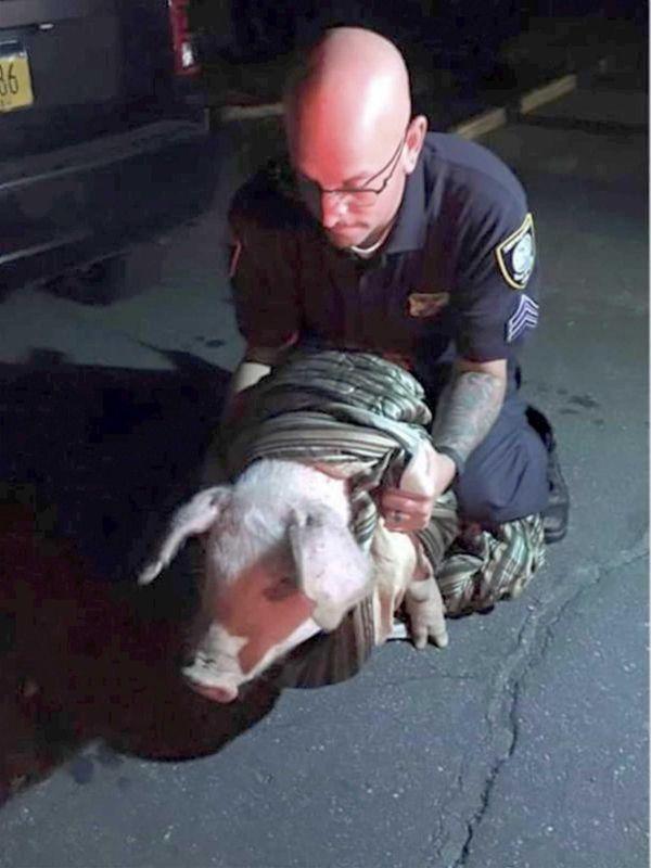 Suffolk SPCA Sgt. Michael Allen with a pig