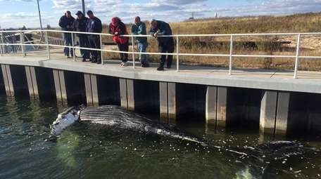 A deceased 28-foot humpback whale found floating in