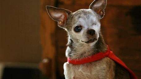 Harley, a 14-year-old Chihuahua owned by Rudi Taylor