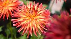 Dahlias can be overwintered indoors for replanting next
