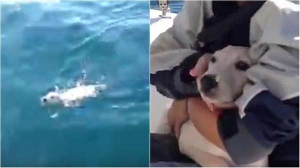 Italian sailors rescued a Labrador puppy named Noodle