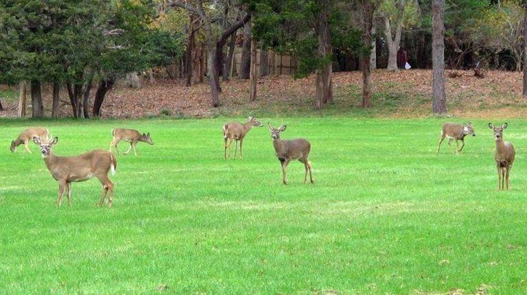 A pack of deer graze in a field