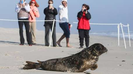 A gray seal rescued by the Riverhead Foundation