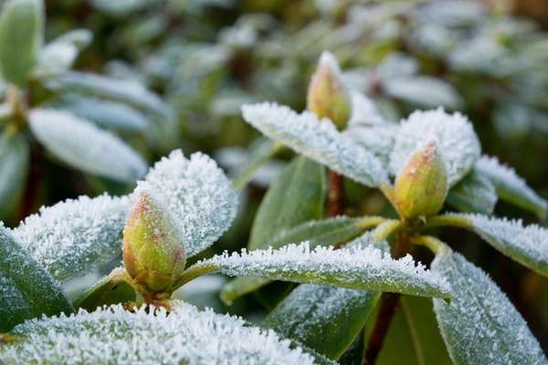 Rhododendrons with hoarfrost in a winter garden.