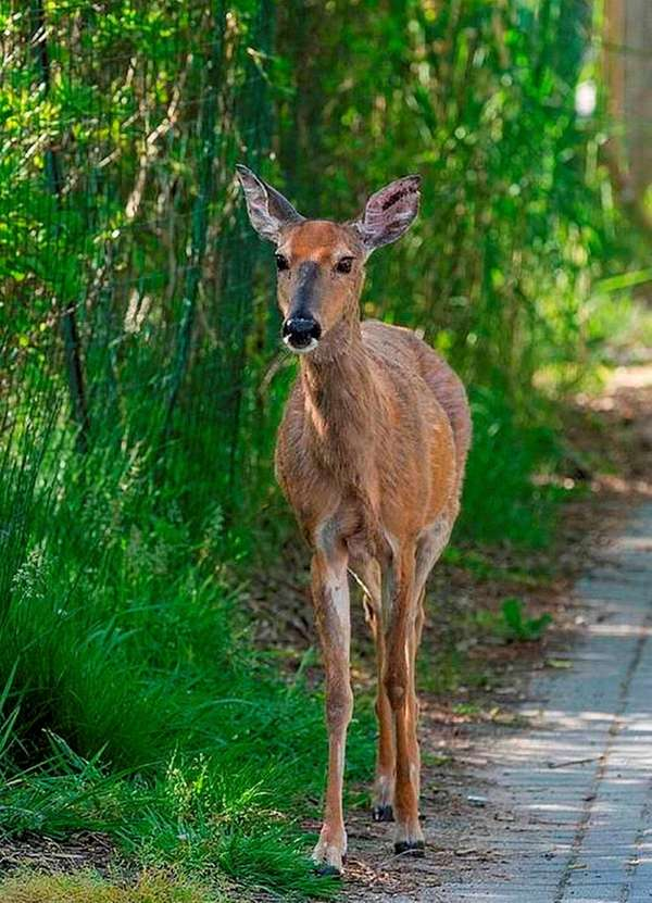 Huntington's legalization of longbow deer hunting, while focused