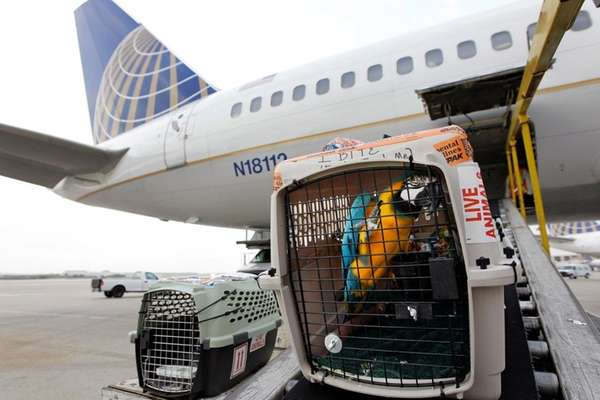 A parrott is loaded onto Continental Airlines
