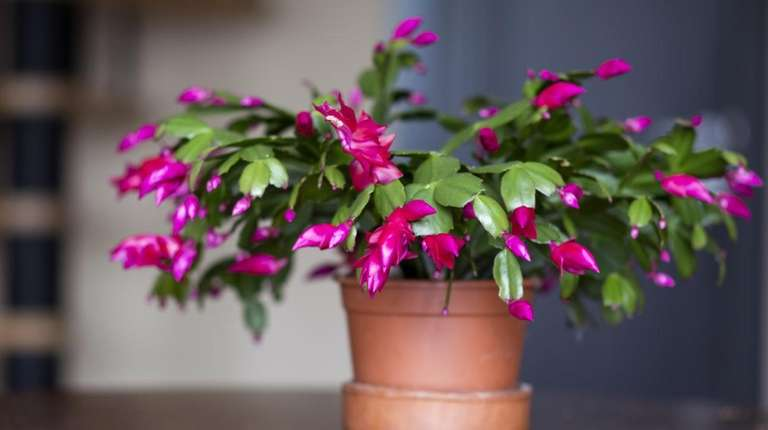 With some TLC, a Christmas cactus will reward