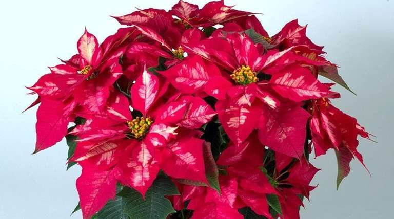 The new Ice Punch Poinsettia at Home Dep