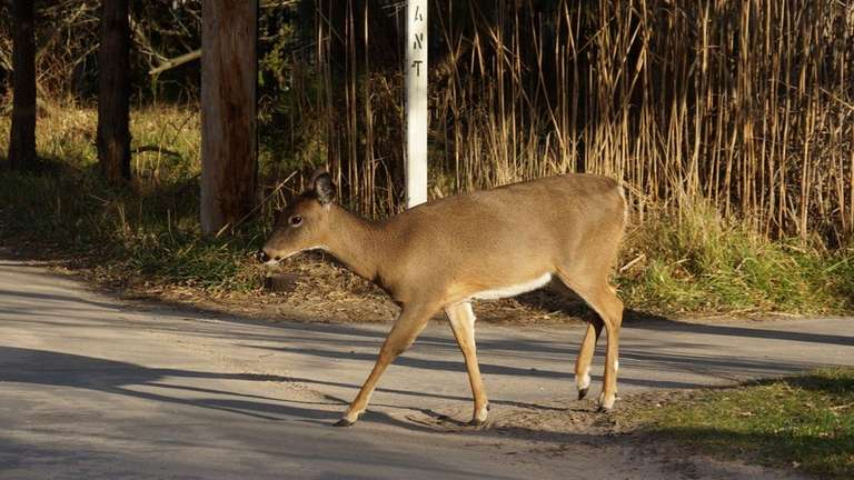A white-tailed deer in Saltaire on Fire Island