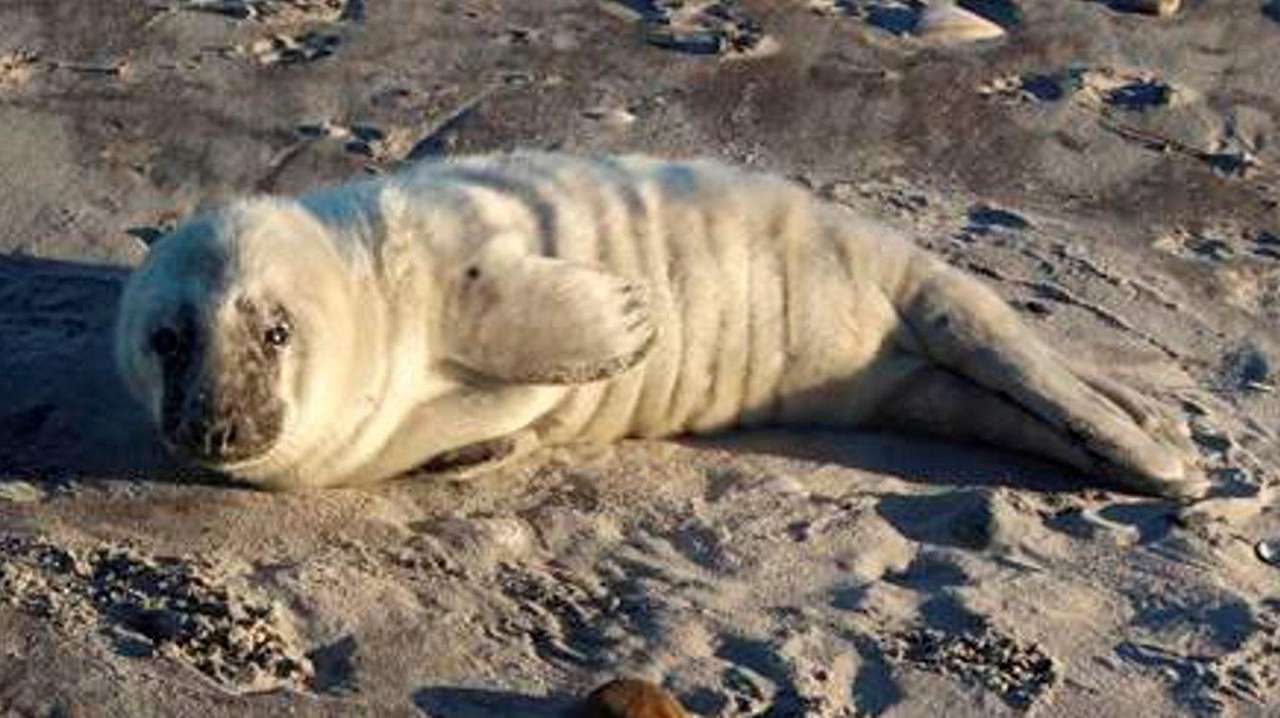 A gray seal pup, estimated to be a
