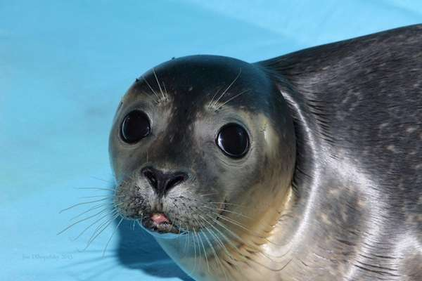 Ares is one of two male harbor seals