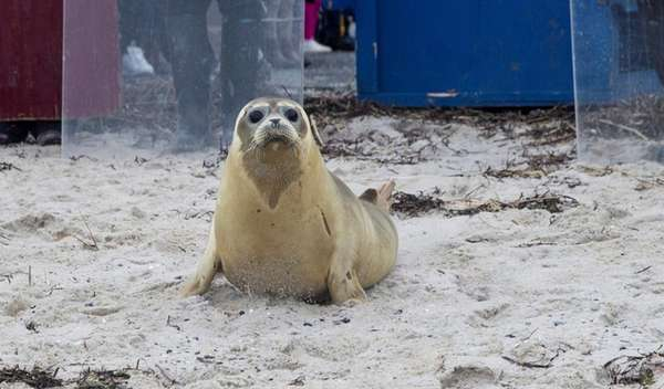 Hermes, a harbor seal, heads for the water