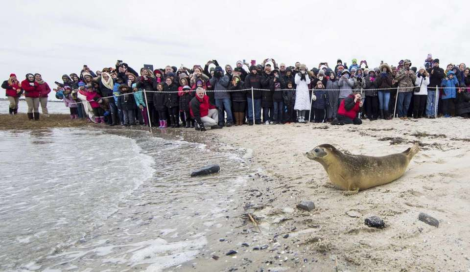 Hermes, a harbor seal is released in front