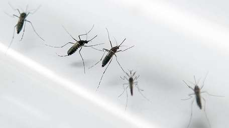 The Aedes aegypti mosquito, which can carry the