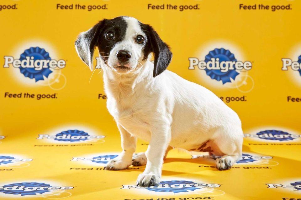 Bella (Team Ruff), a 20-week-old female rat terrier,