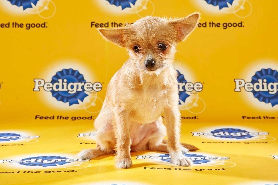 ChiChi (Team Ruff) is a 15-week-old female Chihuahua