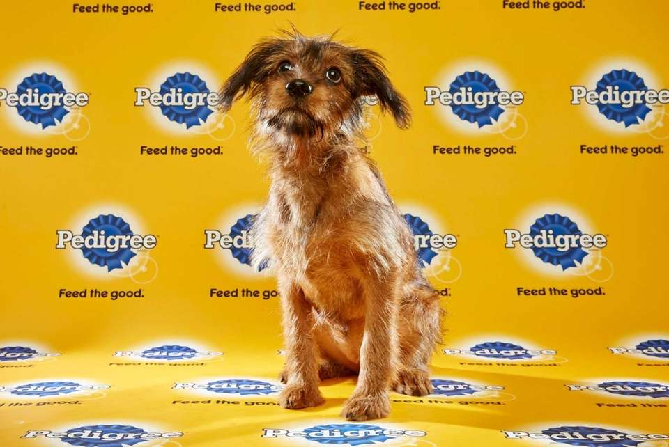 Dilly (Team Ruff) is a 16-week-old female terrier