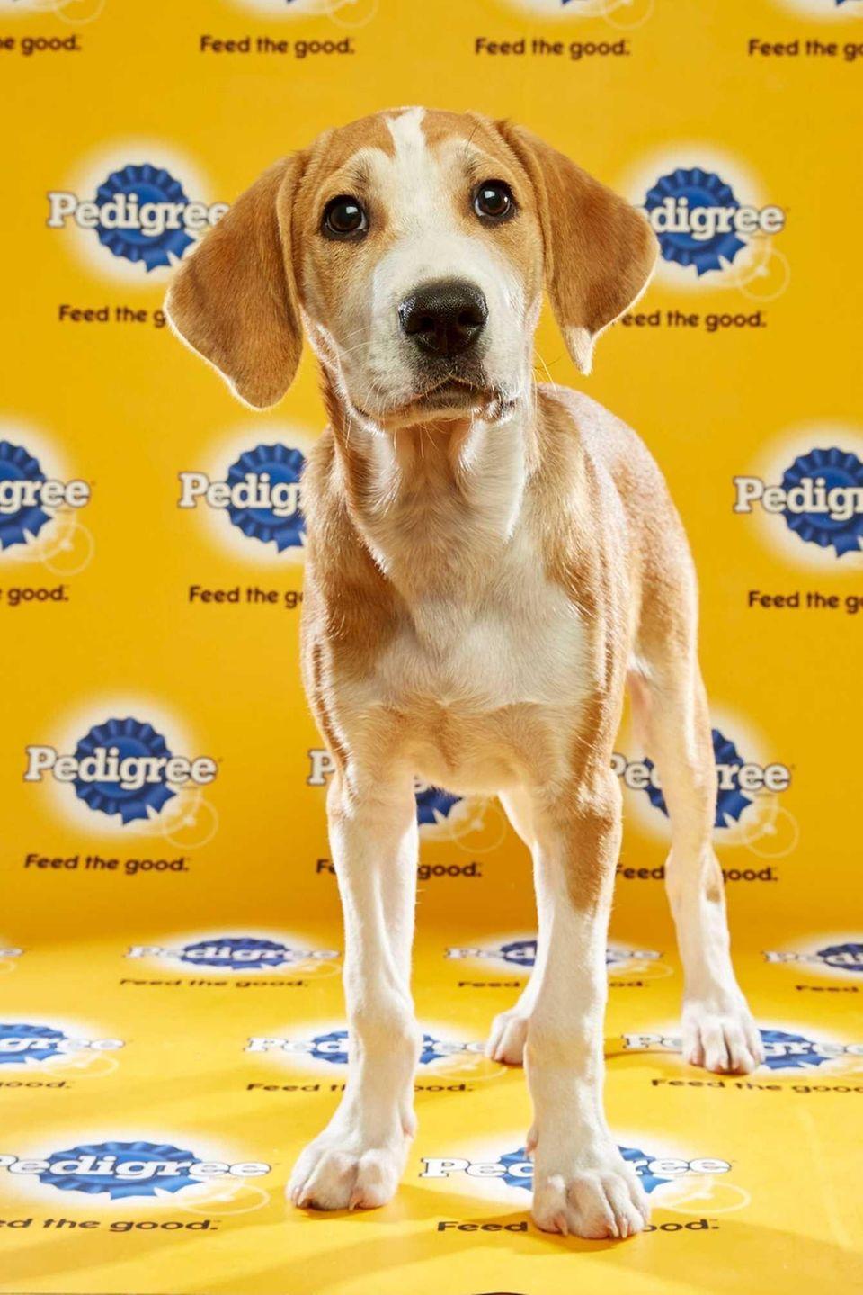 Hank (Team Ruff) is a 12-week-old male yellow