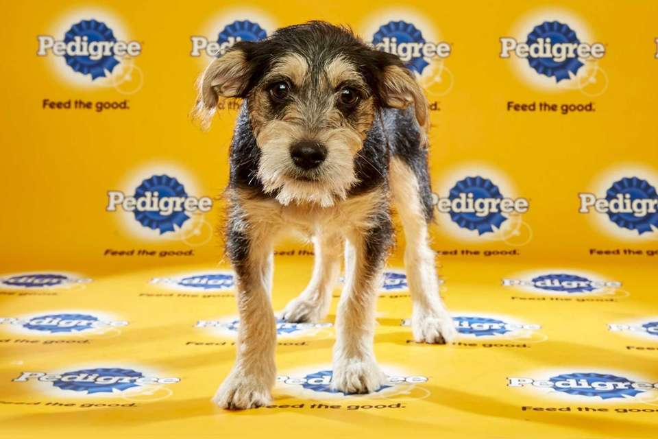 Kevin (Team Fluff) is a 13-week-old male Schnauzer