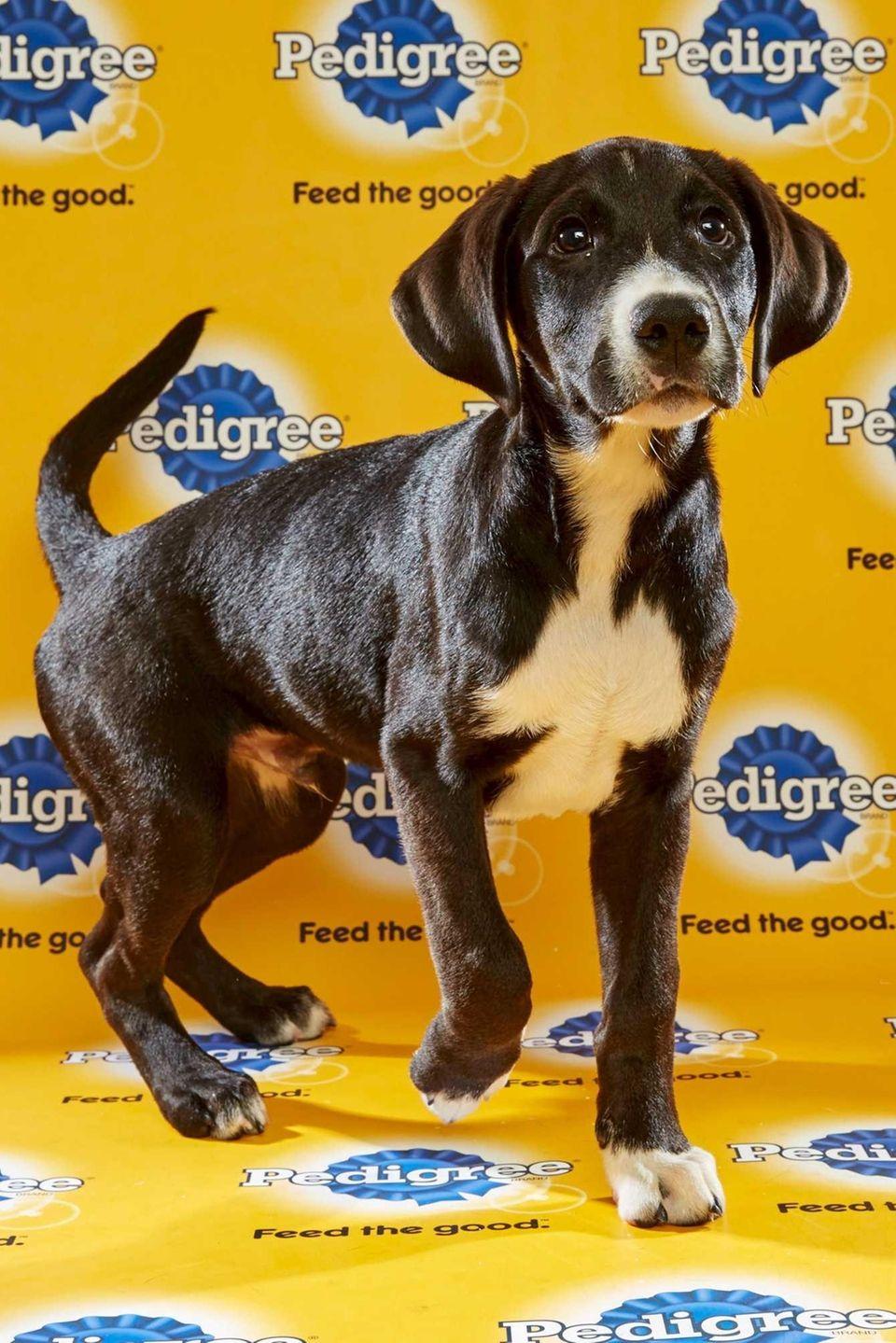 Marley (Team Ruff) is a 14-week-old female Labrador