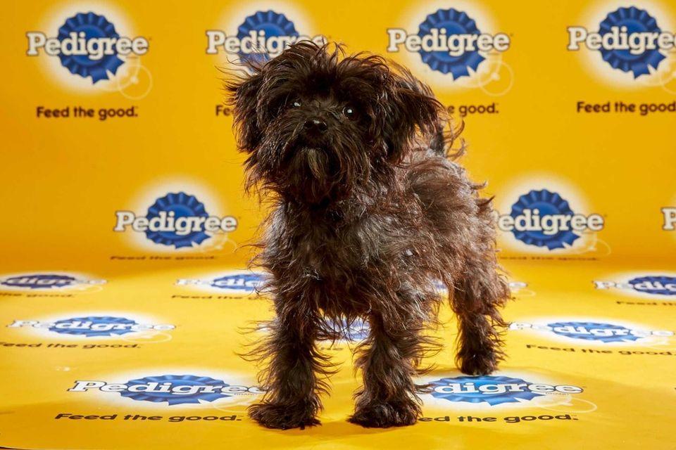 Moose (Team Fluff) is a 14-week-old male poodle