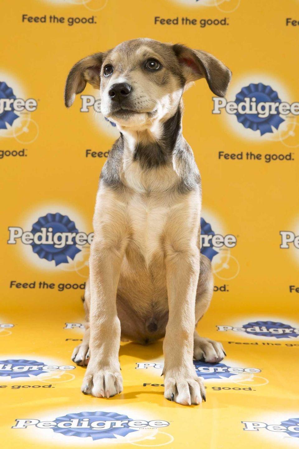 Tate (Team Ruff) is a 14-week-old female beagle