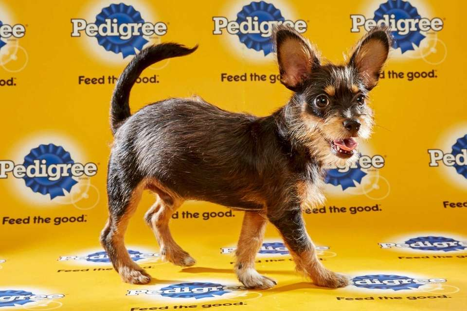 Timon (Team Ruff) is a 13-week-old male terrier